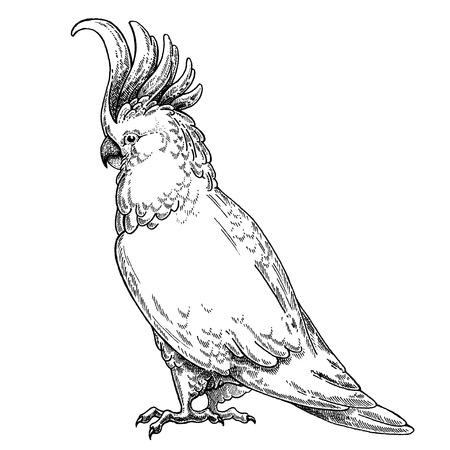Hand drawn illustration for tattoo design, emblem, badge, t-shirt print. Engraving of wild animal. Classic vintage style image. Illustration