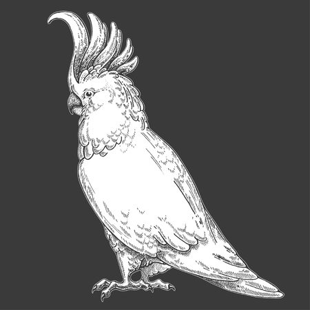 A  Cockatoo, bird, parrot on Hand drawn illustration for tattoo design