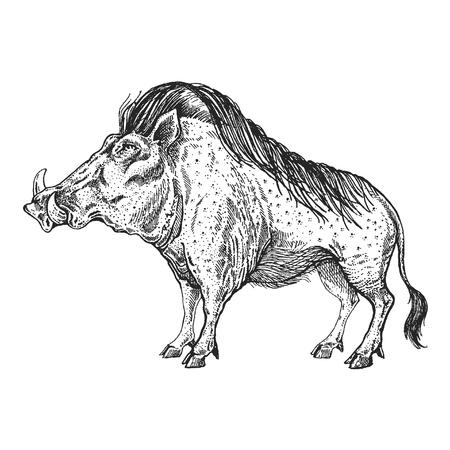 A Warthog, boar, pig, hog on  Hand drawn illustration for tattoo design.