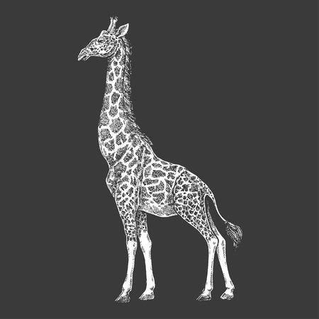 Giraffa disegnata a mano per disegno del tatuaggio. Incisione di animali selvatici per emblema, badge, tatuaggio, stampa t-shirt.