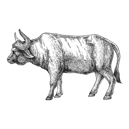 A  buffalo Hand drawn illustration for tattoo design, emblem, badge, t-shirt print. Engraving of wild animal. Classic vintage style image.
