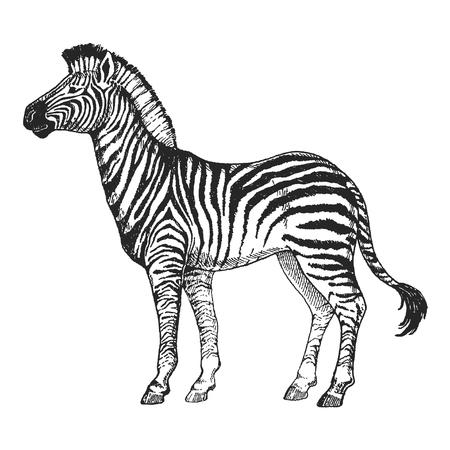 Zebra horse on Hand drawn illustration for tattoo design, emblem, badge, t-shirt print. Engraving of wild animal. Classic vintage style image.