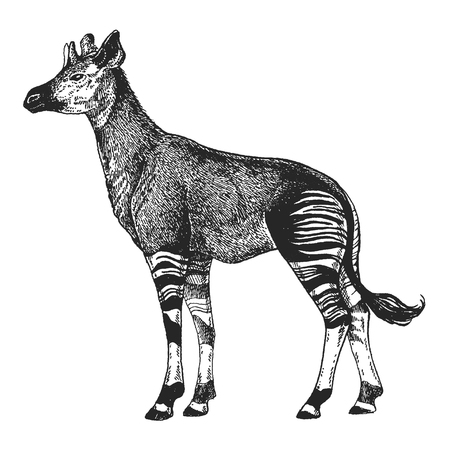 Okapi Hand drawn illustration for tattoo design, emblem, badge, t-shirt print. Engraving of wild animal. Classic vintage style image.