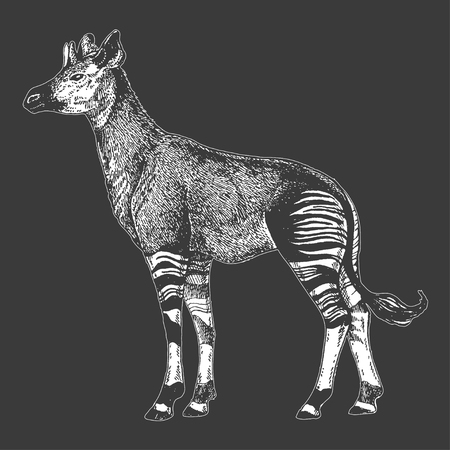 Zoo. African fauna. Okapi. Hand drawn illustration for tattoo design, emblem, badge, t-shirt print. Engraving of wild animal. Classic vintage style image. Illustration