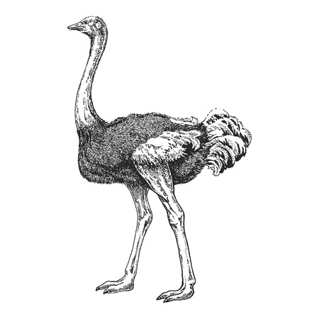 Zoo. African fauna. Bird, ostrich, camel-bird. Hand drawn illustration for tattoo design, emblem, badge, t-shirt print. Engraving of wild animal. Classic vintage style image.