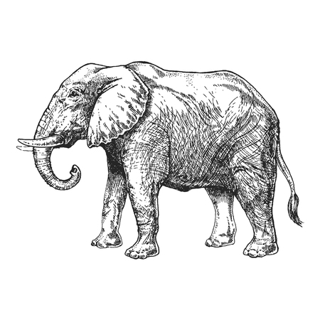 Zoo. African fauna. Elephant. Hand drawn illustration for tattoo design, emblem, badge, t-shirt print. Engraving of wild animal. Classic vintage style image.