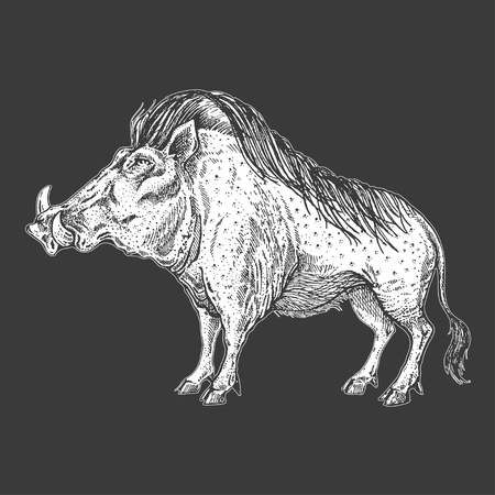 Zoo. African fauna. Warthog, boar, pig, hog. Hand drawn illustration for tattoo design, emblem, badge, t-shirt print. Engraving of wild animal. Classic vintage style image.