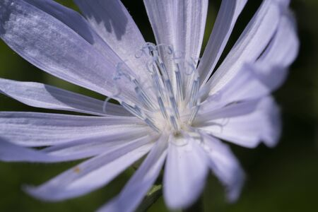Macro photo of cichorium intybus flower blossom. Blue sailors, chicory, coffee weed, or succory is a herbaceous perennial plant