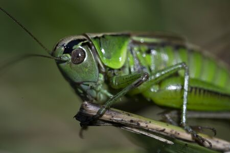 Macro photo of green grasshopper. Summer meadow with insect. Imagens