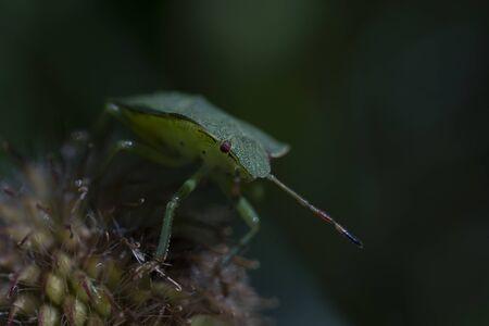 Macro photo of green shield bug (palomena prasina). Forest insect