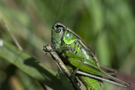 Macro photo of green grasshopper. Summer meadow with insect. 版權商用圖片