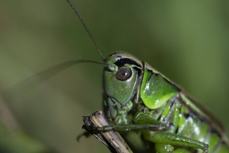 Macro photo of green grasshopper. Summer meadow with insect. 写真素材