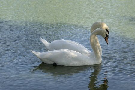 Lake with a white swan. Portrait of beautiful bird Stock Photo