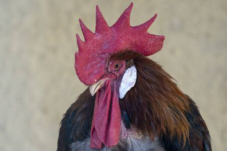 A rooster chicken portrait. This is a beautiful detailed closeup image of bird. Foto de archivo