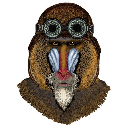 Baboon, monkey, ape. Head, portrait of animal. Aviator flying leather helmet with goggles.