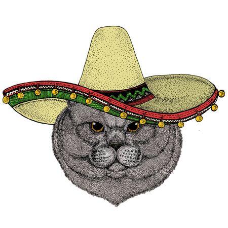 British shorthair cat. Sombrero mexican hat. Scottish fold. Cute kitten. Cool animal.