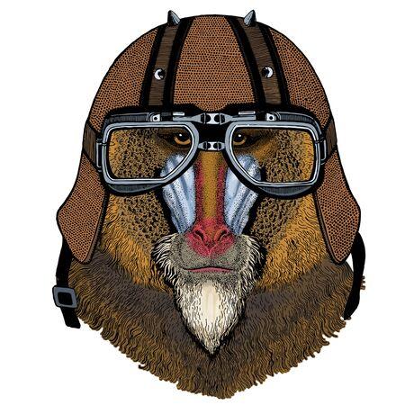 Baboon, monkey, ape. Head, portrait of animal. Motorcycle helmet.