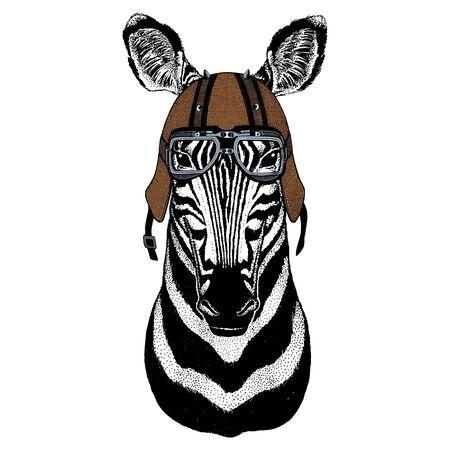 Zebra portrait. Head of wild animal. Motorcycle helmet.