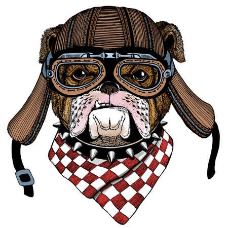 Bulldog, dog. Portrait of cute animal. Motorcycle helmet.