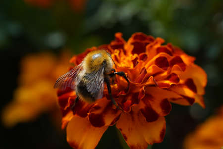 A macro shot of a bumblebee collecting pollen from a flower.