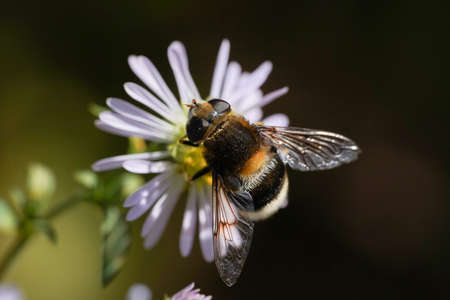 A large hornet mimic Hoverfly, Volucella zonaria, nectaring on a flower. Foto de archivo