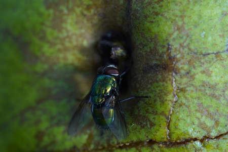 Green fly on white apple. Greem background. Foto de archivo