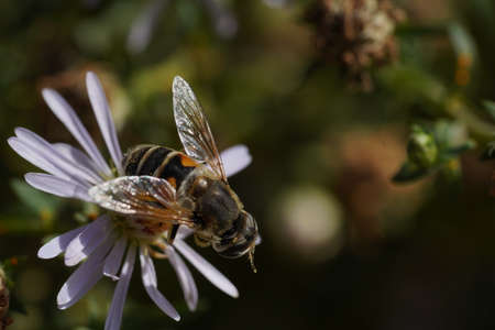 Volucella bombylans var plumata hoverfly. Excellent bumblebee mimic in the family Syrphidae, nectaring on flower Foto de archivo