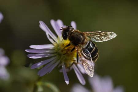 A hornet-mimic hoverfly Volucella zonaria, Family Tachnidae Foto de archivo