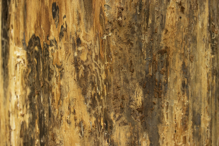 corrosion: Pine tree bark texture or background close up