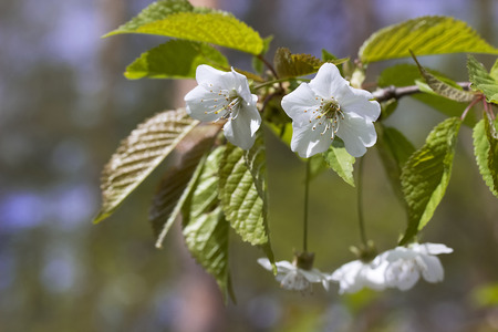 crab apple tree: Blossoming brunch of an apple tree. Spring Stock Photo