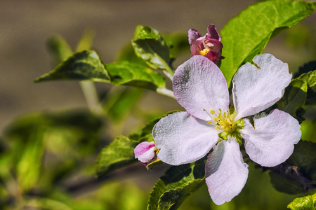 crab apple tree: Blossoming branch of an apple tree with one flower.
