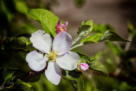 crab apple tree: Blossoming branch of an apple tree with one flower. spring.