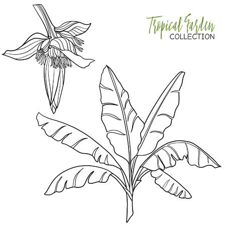 Banana palm. Tropische plant. Vector illustratie. Kleurboek voor volwassenen en oudere kinderen. Kleurplaat. Overzichtstekening.