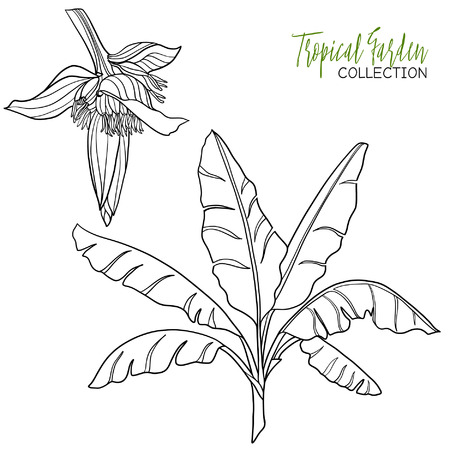 Banana palm. Tropical plant. Vector illustration. Coloring book for adult and older children. Coloring page. Outline drawing. Illustration