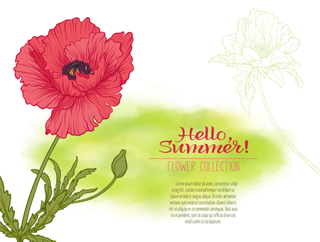 A poppy flower on a green watercolor background. The flowers in. Illustration