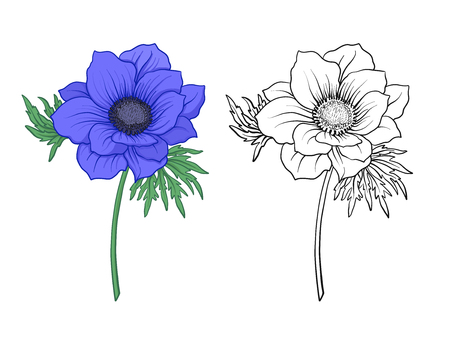Anemone flowers. Set of colored and outline flowers.