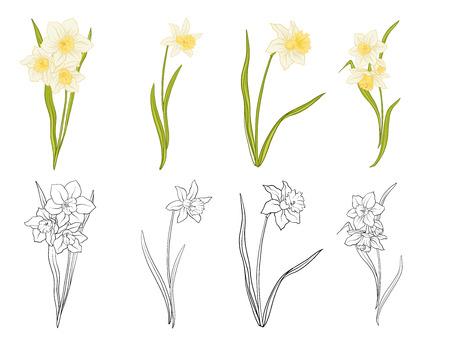 Narciss flowers hand drawn