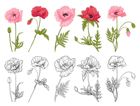 Poppy flowers hand drawn.