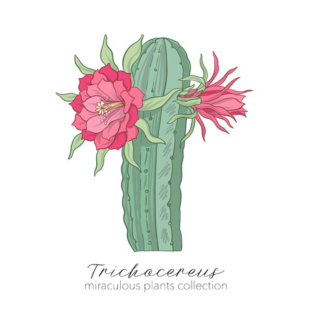 Echinopsis, trichocereus peruvianus plant. Colored stock vector