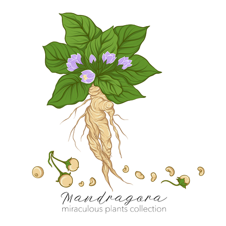 Mandragora plant. Colored stock vector illustration.