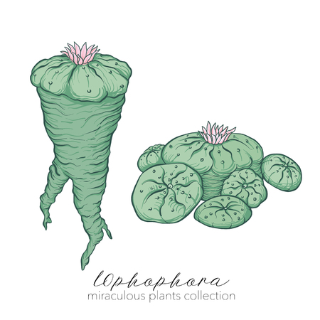 Ophophora plant. Colored stock vector illustration.