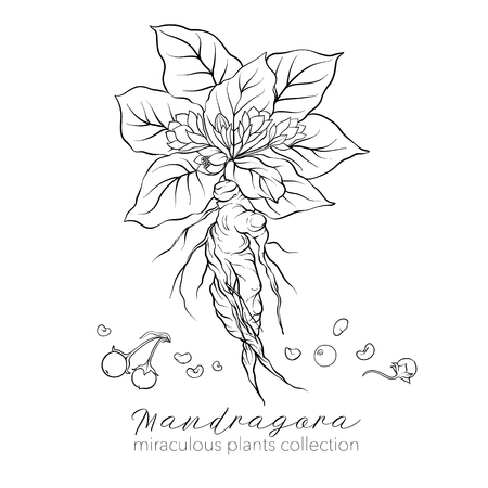 Mandragora plant. Outline stock vector illustration.
