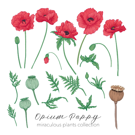 Opium poppy plant set. Colored stock vector illustration.
