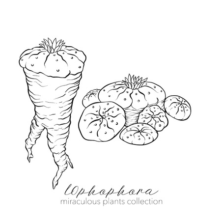 Ophophora plant. Outline stock vector illustration.