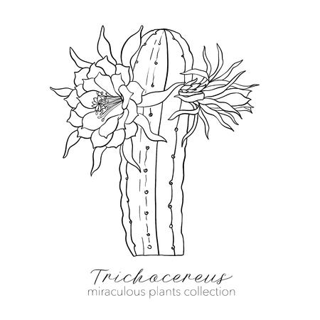 Echinopsis、trichocereus peruvianus 工場。アウトラインストックベクトル