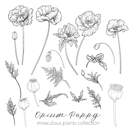 Opium poppy plant set. Outline stock vector illustration.