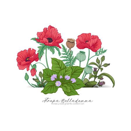 아편 양귀비, belladonna 및 mandragora. 기적의 식물 세트