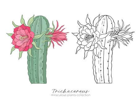 Echinopsis, trichocereus peruvianus plant. Colored and outline illustration.