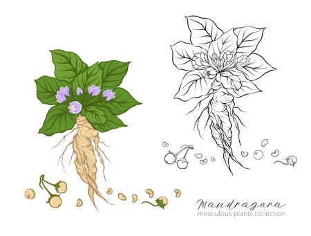 Mandragora 식물. 색 및 개요 벡터 일러스트 레이 션을 설정합니다.
