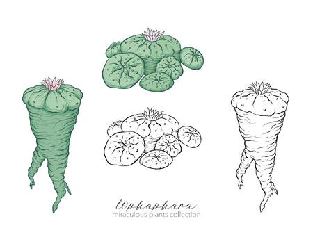 Ophophora plant. Colored and outline set vector illustration. Ilustrace